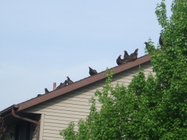 Vultures on the neighor's roof.